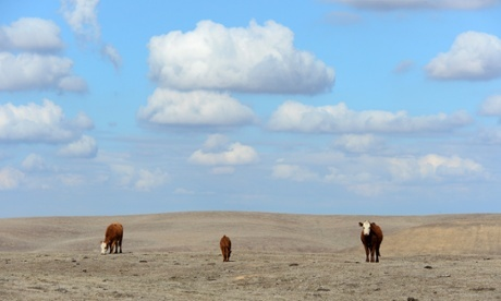 Cattle roam dirt-brown fields on the outskirts of Delano, in California's Central Valley. Scientists predict future droughts will be far worse than the one in California. Photograph: Frederic J Brown/AFP/Getty Images