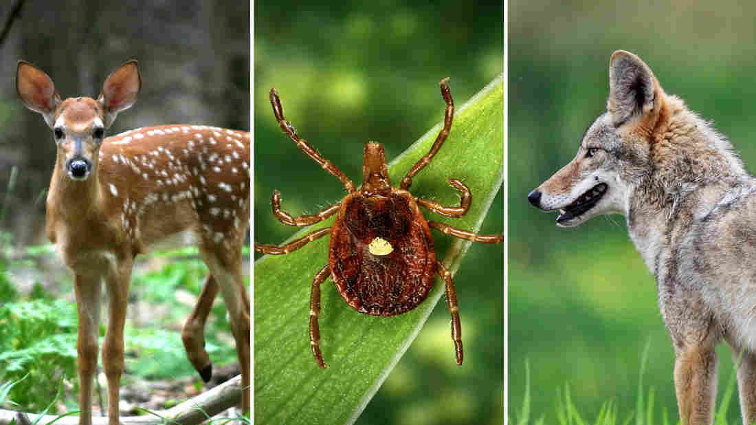 Scientists think the lone star tick (center) likely transmits Heartland disease to people. And the virus probably also circulates in deer and coyotes. iStockphoto; CDC; iStockphoto
