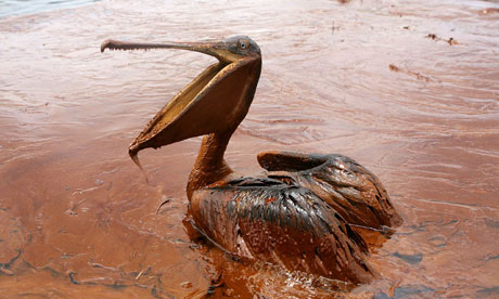 The Deepwater Horizon blast led to 780m litres of oil escaping into the Gulf of Mexico, affecting wildlife such as pelicans. Photograph: Sean Gardner/Reuters